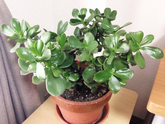 金運を上げる観葉植物